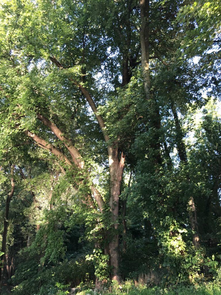 ENSO TREE